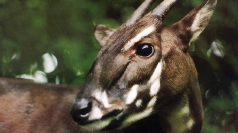 Perhaps the rarest mammal in existence, the saola had not been seen in 15 years. Image Source: